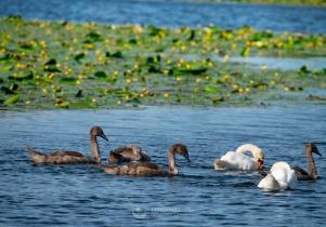 Łabędzia rodzina