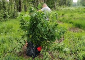 Policjanci zlikwidowali leśną plantację konopi